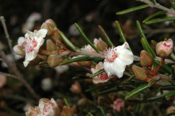 Ricinocarpos bowmanii flora ALA source