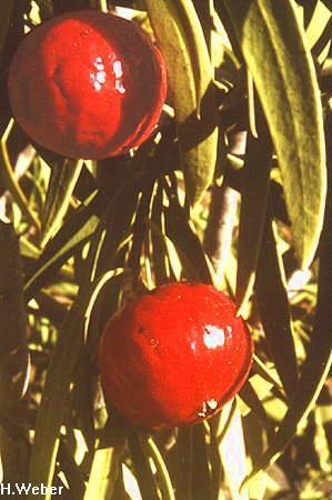 Santalum acuminatum flora ALA source