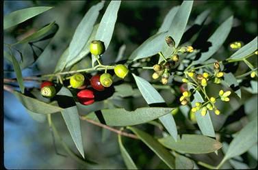 Santalum lanceolatum flora ALA source