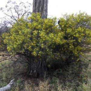 Senna artemisioides subsp x artemisioides flora ALA source