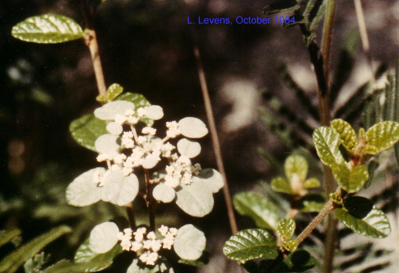 Spyridium parvifolium flora ALA source
