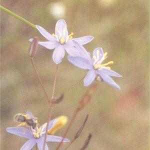 Stypandra glauca flora ALA source