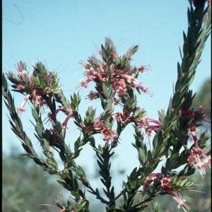 Styphelia triflora flora ALA source