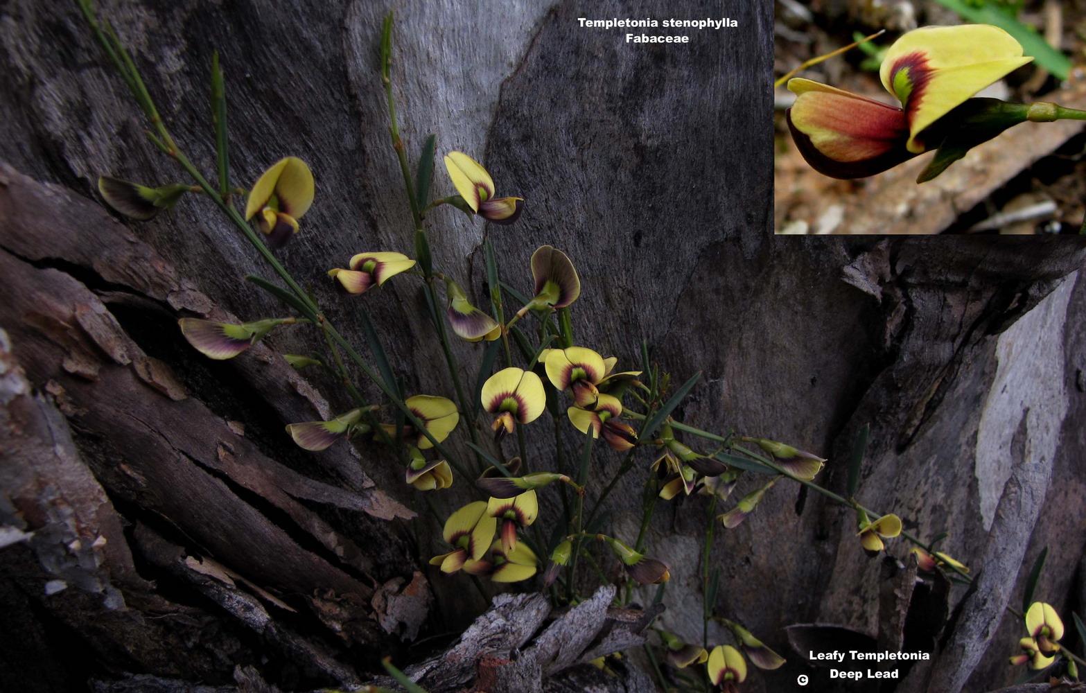 Templetonia stenophylla flora ALA source