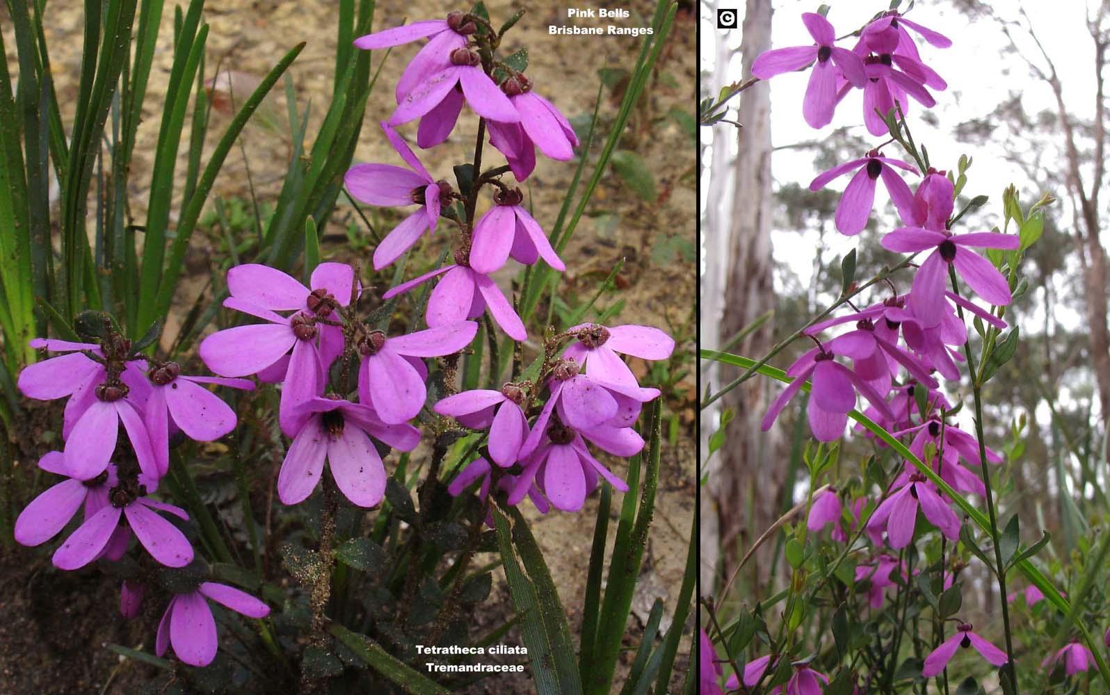 Tetratheca ciliata flora ALA source
