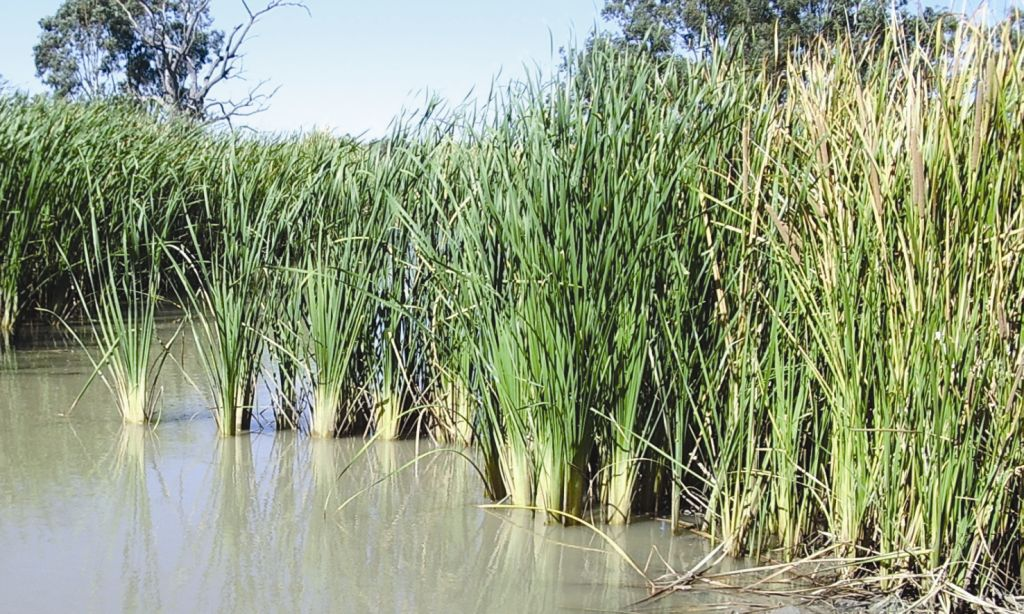 Typha domingensis flora ALA source
