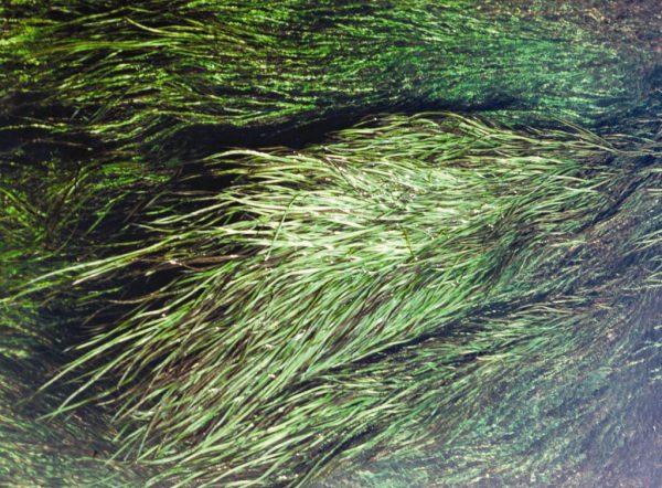 Vallisneria nana flora ALA source
