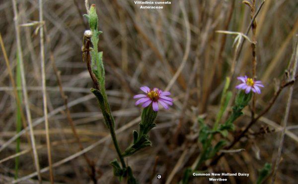 Vittadinia cuneata flora ALA source