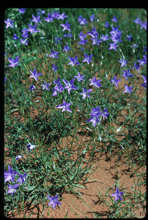 Wahlenbergia communis flora ALA source