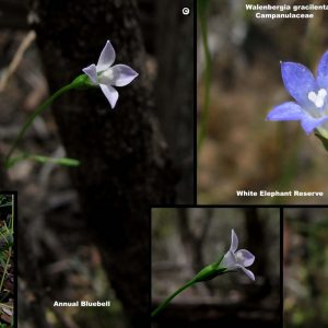 Wahlenbergia gracilenta flora ALA source