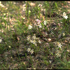Wurmbea dioica subsp dioica flora ALA source