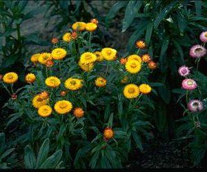 Xerochrysum bracteatum flora ALA source