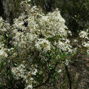 Bursaria lasiophylla plant