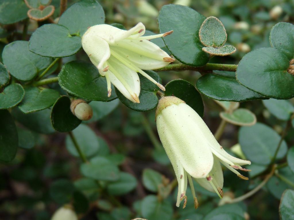 Correa reflexa var reflexa flowers