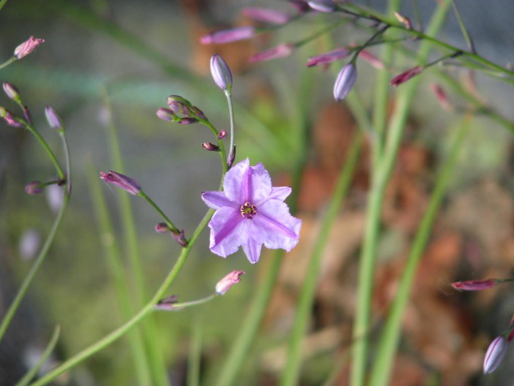 Dichopogon strictus flora plant