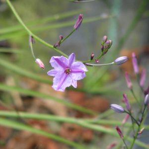 Dichopogon strictus plant