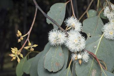 Eucalyptus camphora subsp humeana flora flowers