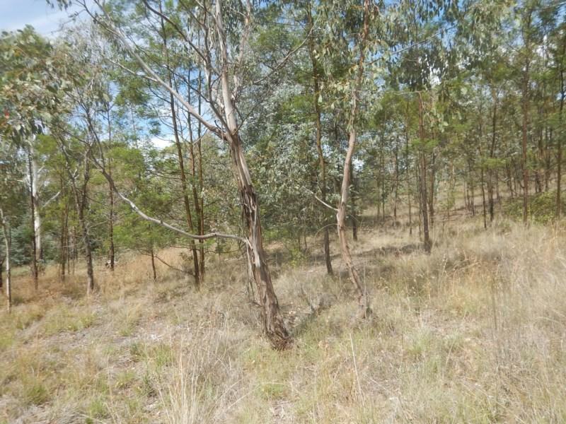 Eucalyptus camphora subsp humeana flora plant