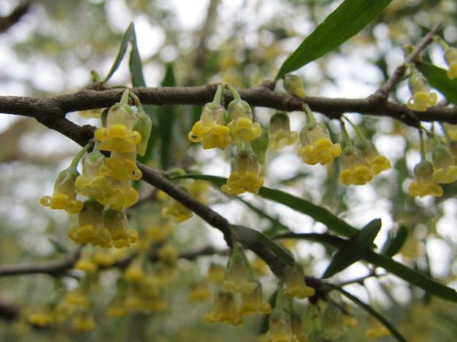 Hymenanthera dentata flora flowers
