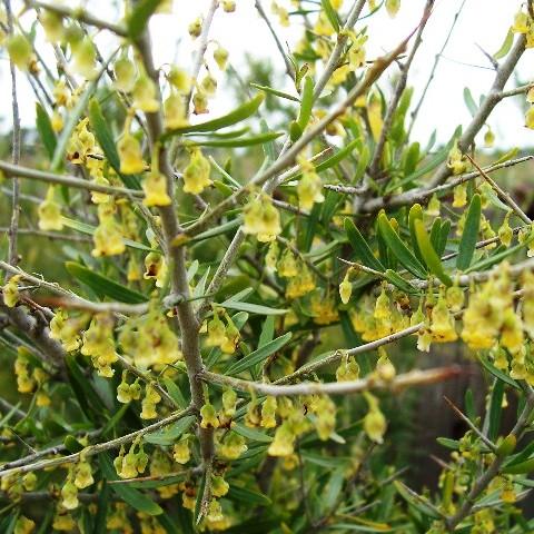 Hymenanthera dentata plant