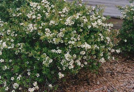 Leptospermum obovatum flora plant