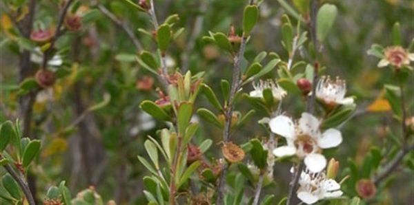 Leptospermum obovatum flowers