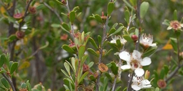 Leptospermum obovatum flora flowers