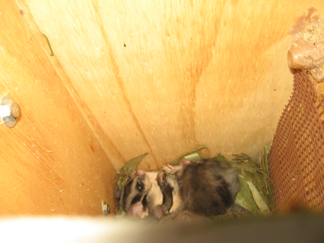 Gliders found nesting in one of the recently erected nest boxes near the Lake Hume resort - Woolshed Thurgoona Landcare Group