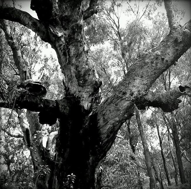 Hollow bearing tree at Woolshed Creek, Thurgoona - Woolshed Thurgoona Landcare Group