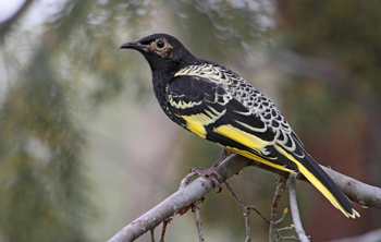 Regent Honeyeater - Woolshed Thurgoona Landcare Group