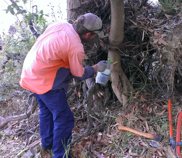 Weed removal for Bush Regeneration at Spillway Reserve - Woolshed Thurgoona Landcare Group