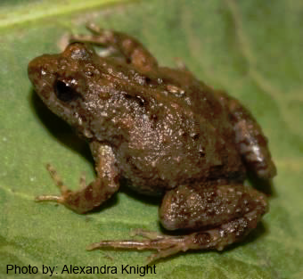 Sloanes froglet