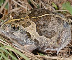 Common Spadefoot Frog