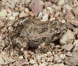Plains Froglet
