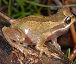 Plains_Tree_Frog