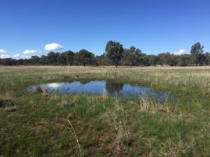Shallow vegetated wetlands provide excellent Sloane's froglet breeding habitat in winter - Helen P. Waudby