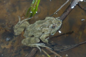 Sloane's froglet - David Hunter