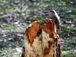 Brown tree Creeper