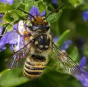 Bee-on-purple-flower